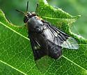 Deerfly - Chrysops cincticornis - female