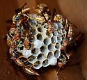 Paper Wasps - Polistes bahamensis