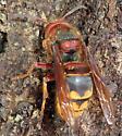 European Hornet queen - Vespa crabro - female