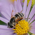 Syrphid fly on aromatic aster - Eristalis stipator