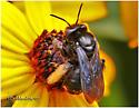 Bee - Melissodes bimaculatus - female
