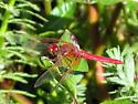 Cardinal Meadowhawk (Sympetrum illotum)? - Sympetrum illotum