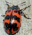 Some kind of ladybug or other beetle? - Chrysomela interrupta