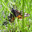 Pararctia yarrowii (lapponica) - Arctia yarrowii