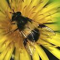 ID help please - Leucozona americana - female