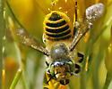 Megachile sp. - Megachile - female
