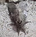 Hyperaeschra ? - Peridea angulosa