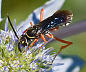 Wasp 416A 6408 & 6417 - Ceropales robinsonii
