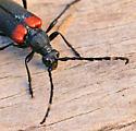 Longhorned Beetle - Stictoleptura canadensis