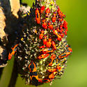 Milkweed bugs? - Oncopeltus fasciatus