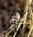 Rainbow Grasshopper - Dactylotum bicolor