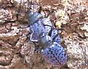 Id help needed. - Gibbifer californicus - male - female