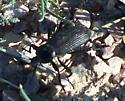 Beetle - Eleodes obscura