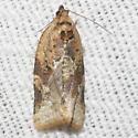 Red-banded Leafroller - Hodges#3597 - Argyrotaenia velutinana