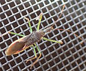 bug on window screen - Zelus renardii