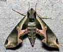 Pandorus Sphinx - Eumorpha pandorus