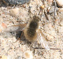 Bee Fly - Anastoechus barbatus - female