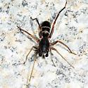 spider - Castianeira cingulata - male