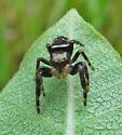 Phiddipus Clarus - Phidippus clarus - male