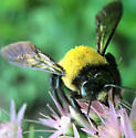 Male carpenter bee? - Xylocopa virginica - male