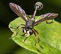 Conopid - Physocephala furcillata