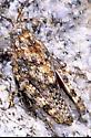 Tytthotyle maculata nymph - female - Tytthotyle maculata - female