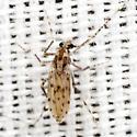 Phantom Midge - Chaoborus punctipennis - female