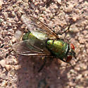 Green Blow Fly - Lucilia sericata - female