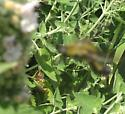 Bee fly on catnip - Lepidophora