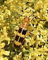 Yellow & Black Bettle - Pyrota palpalis
