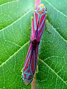 Leafhoppers mating - Graphocephala coccinea - male - female
