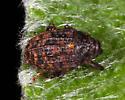 Curculionidae - Rhyssomatus palmacollis