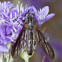 Thevenetimyia californica? - Thevenetimyia californica - female
