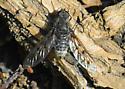Silverado Bee Fly C - Anthrax
