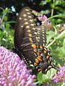 Butterfly on butterfly bush - Papilio polyxenes