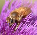 Xanthochromic Honey Bee - Apis mellifera