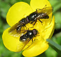 flies on buttercup - Cheilosia