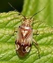 Plant Bug - Lygus