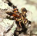 Neat tachinid - Euantha litturata - female