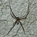Unidentified spider - Latrodectus hesperus - male