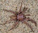 Southern Coastal Dune Trapdoor Spider - Aptostichus simus - male