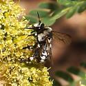 bee on mesquite flowers - Ericrocis lata