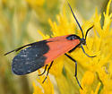 Black and Yellow Lichen Moth - Lycomorpha pholus