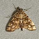 Small moth  - Lygropia rivulalis