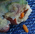 oak galls - Polystepha pilulae