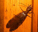 Giant Wood Borer that scared the heck out of my wife! - Corydalus cornutus - female