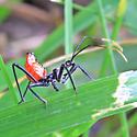Wheel Bug (Arilus cristatus) ? - Arilus cristatus