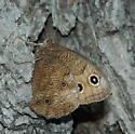 Blue-eyed Grayling - Cercyonis pegala - male