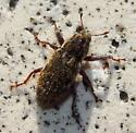 Weevil - Microlarinus