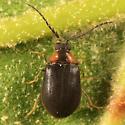 Water Penny Beetle - Ectopria nervosa